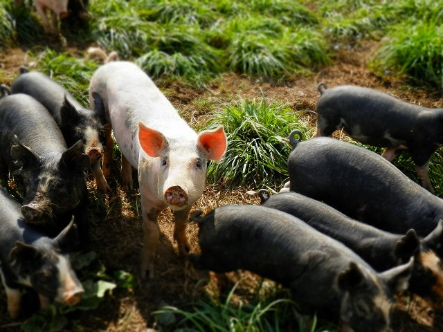 Piglets (Photo by Meghan Filoromo)